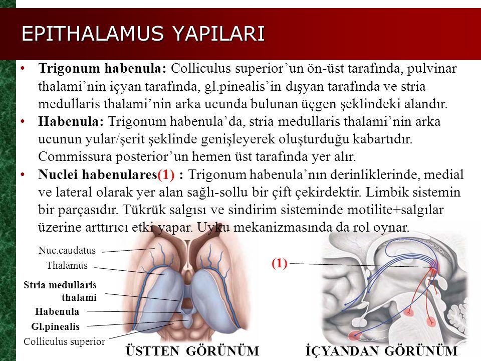 EPITHALAMUS YAPILARI ÜSTTEN GÖRÜNÜM Thalamus Habenula Gl.pinealis Nuc.caudatus Stria medullaris thalami Colliculus superior İÇYANDAN GÖRÜNÜM Trigonum