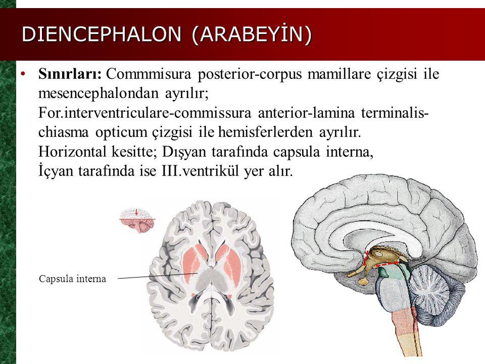 Sınırları: Commmisura posterior-corpus mamillare çizgisi ile mesencephalondan ayrılır; For.interventriculare-commissura anterior-lamina terminalis- ch