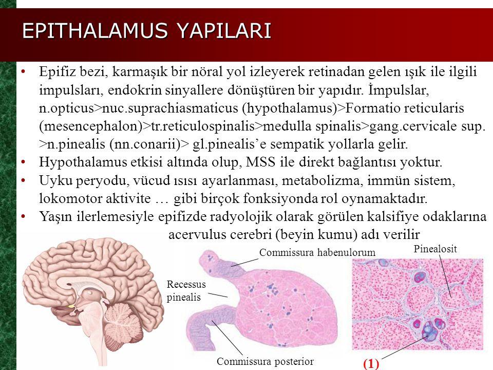 Epifiz bezi, karmaşık bir nöral yol izleyerek retinadan gelen ışık ile ilgili impulsları, endokrin sinyallere dönüştüren bir yapıdır. İmpulslar, n.opt