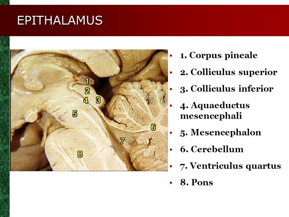 1. Corpus pineale 2. Colliculus superior 3. Colliculus inferior 4. Aquaeductus mesencephali 5. Mesencephalon 6. Cerebellum 7. Ventriculus quartus 8. P