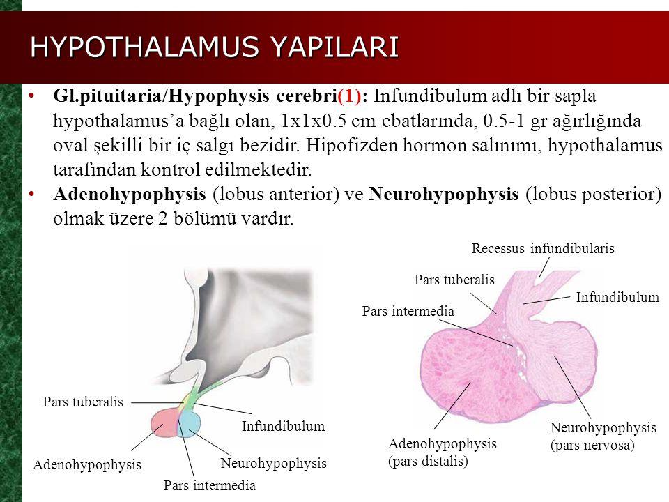 HYPOTHALAMUS YAPILARI Gl.pituitaria/Hypophysis cerebri(1): Infundibulum adlı bir sapla hypothalamus'a bağlı olan, 1x1x0.5 cm ebatlarında, 0.5-1 gr ağı