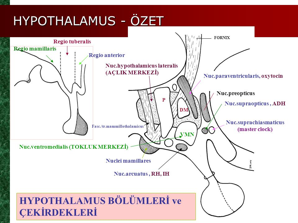 HYPOTHALAMUS BÖLÜMLERİ ve ÇEKİRDEKLERİ Regio anterior Regio tuberalis Regio mamillaris Nuc.hypothalamicus lateralis (AÇLIK MERKEZİ) Nuc.supraopticus,