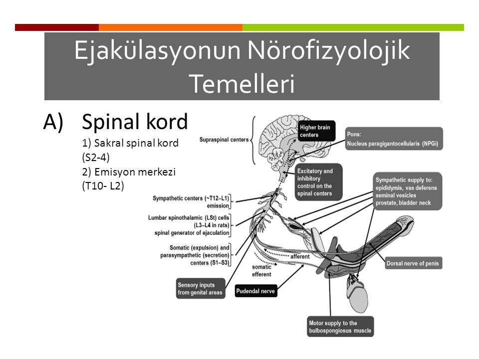 A)Spinal kord 1) Sakral spinal kord (S2-4) 2) Emisyon merkezi (T10- L2) Ejakülasyonun Nörofizyolojik Temelleri
