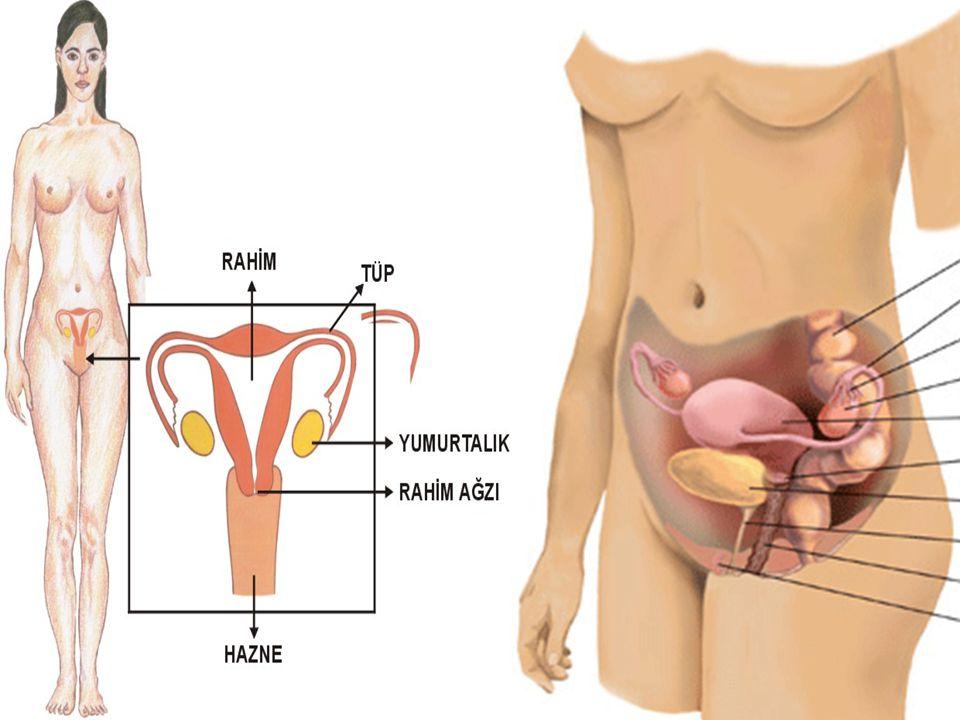  Beyinden ve hipofizden gelen hormonların kontrolünde, bir ay sağda bir ay solda olmak üzere yumurtalıklarda follikül dediğimiz kistler oluşur.