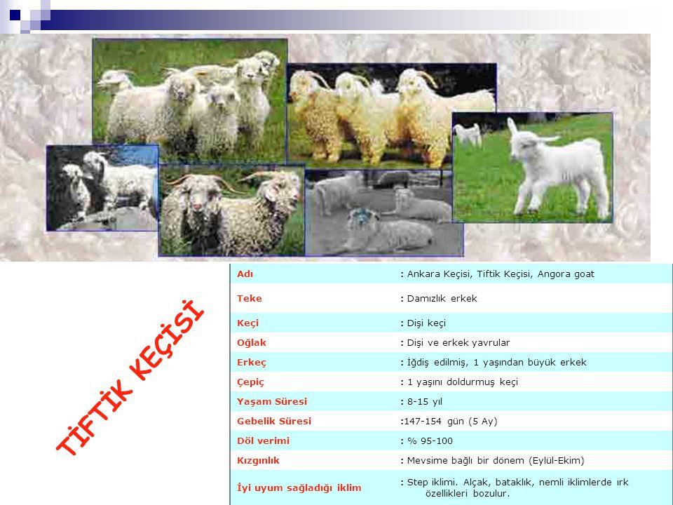Adı: Ankara Keçisi, Tiftik Keçisi, Angora goat Teke: Damızlık erkek Keçi: Dişi keçi Oğlak: Dişi ve erkek yavrular Erkeç: İğdiş edilmiş, 1 yaşından büy