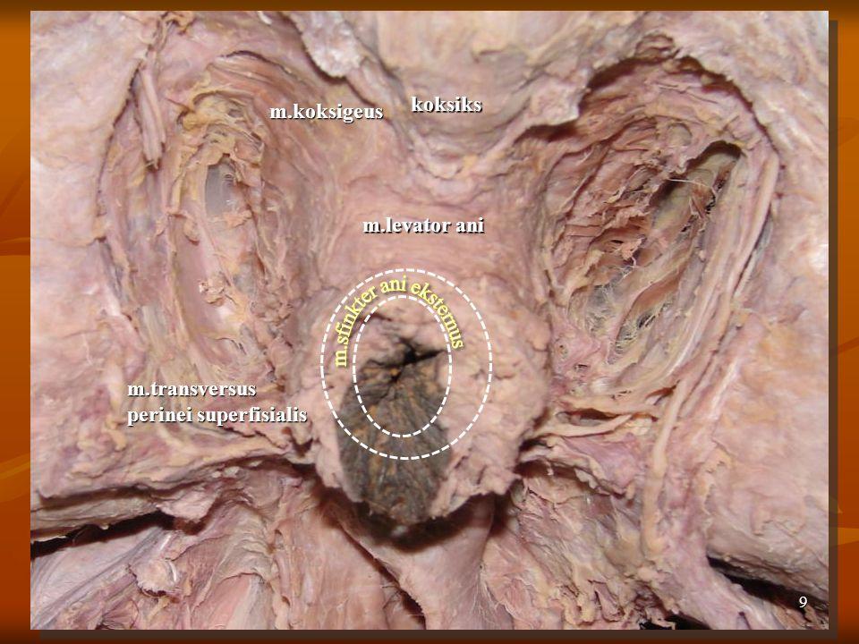 9 m.levator ani koksiks m.transversus perinei superfisialis m.koksigeus