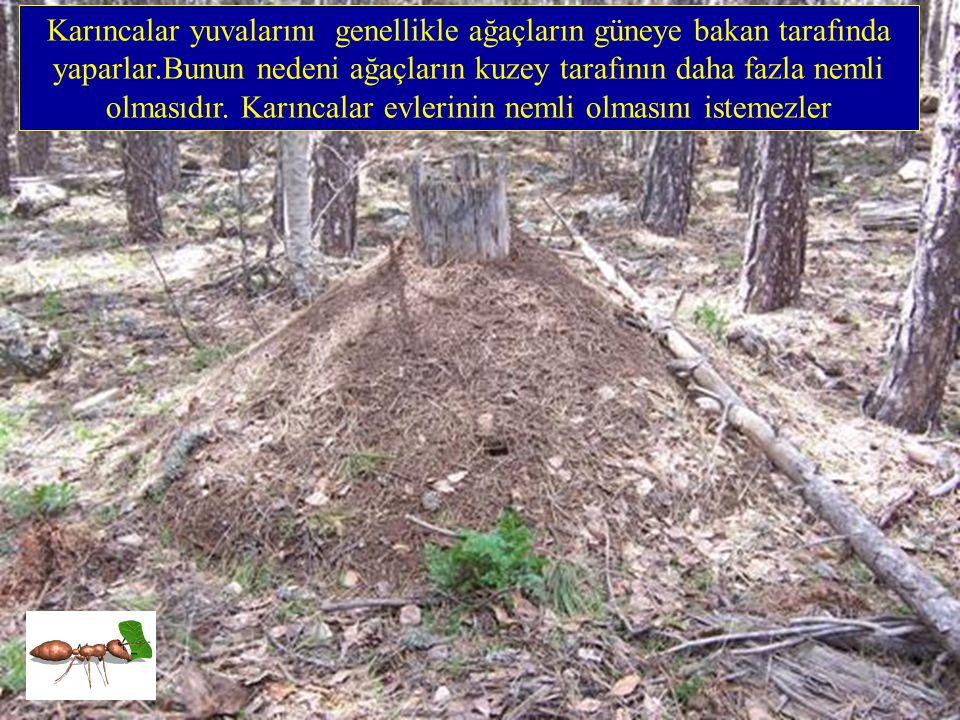 Çünkü yosunlar nemi çok seven ve nemsiz kaldıkları zaman çabucak ölen bitkilerdir. Ağaçların kuzey yönü fazla güneş ışığı almadığı için daha nemlidir.