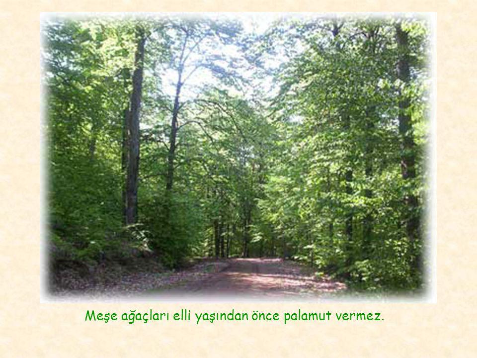 Meşe ağaçları elli yaşından önce palamut vermez.