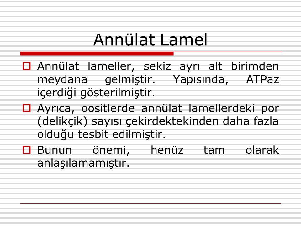 Annülat Lamel  Annülat lameller, sekiz ayrı alt birimden meydana gelmiştir.