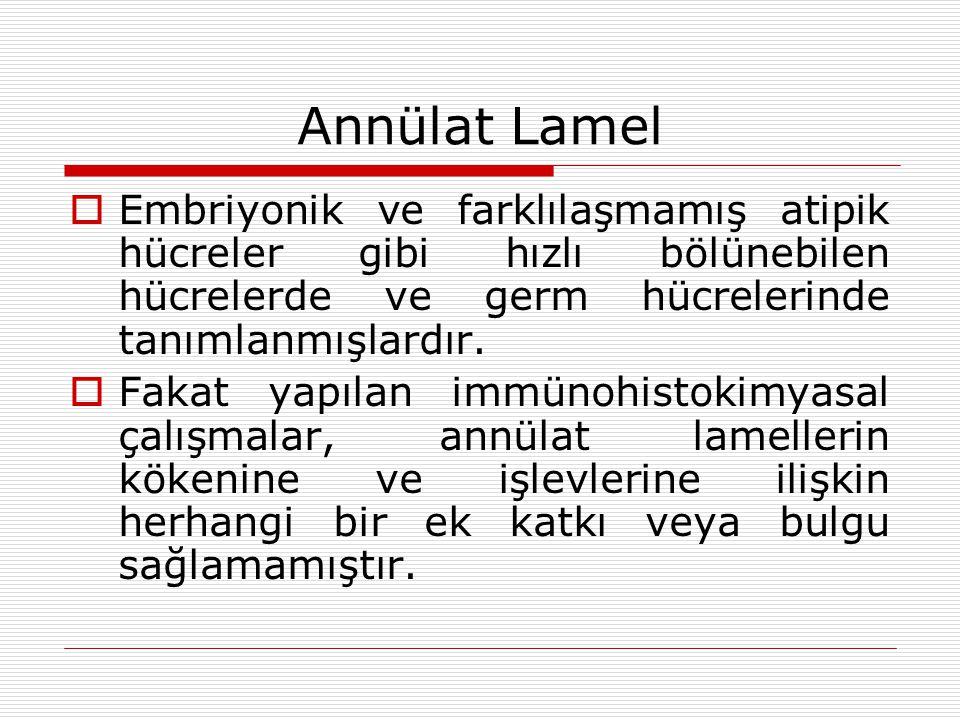 Annülat Lamel  Embriyonik ve farklılaşmamış atipik hücreler gibi hızlı bölünebilen hücrelerde ve germ hücrelerinde tanımlanmışlardır.