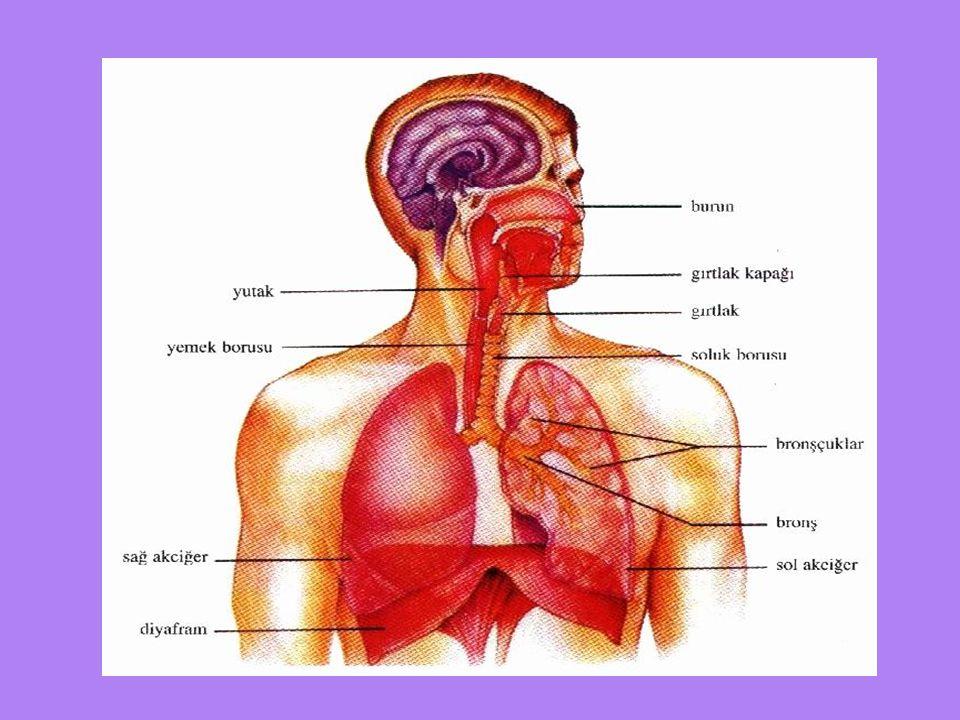 SOLUNUM ORGANLARI Solunum sistemi şu organlardan oluşur; -Burun -Ağız -Akciğer -Bronş -Bronşçuk -Alveol -Diyafram