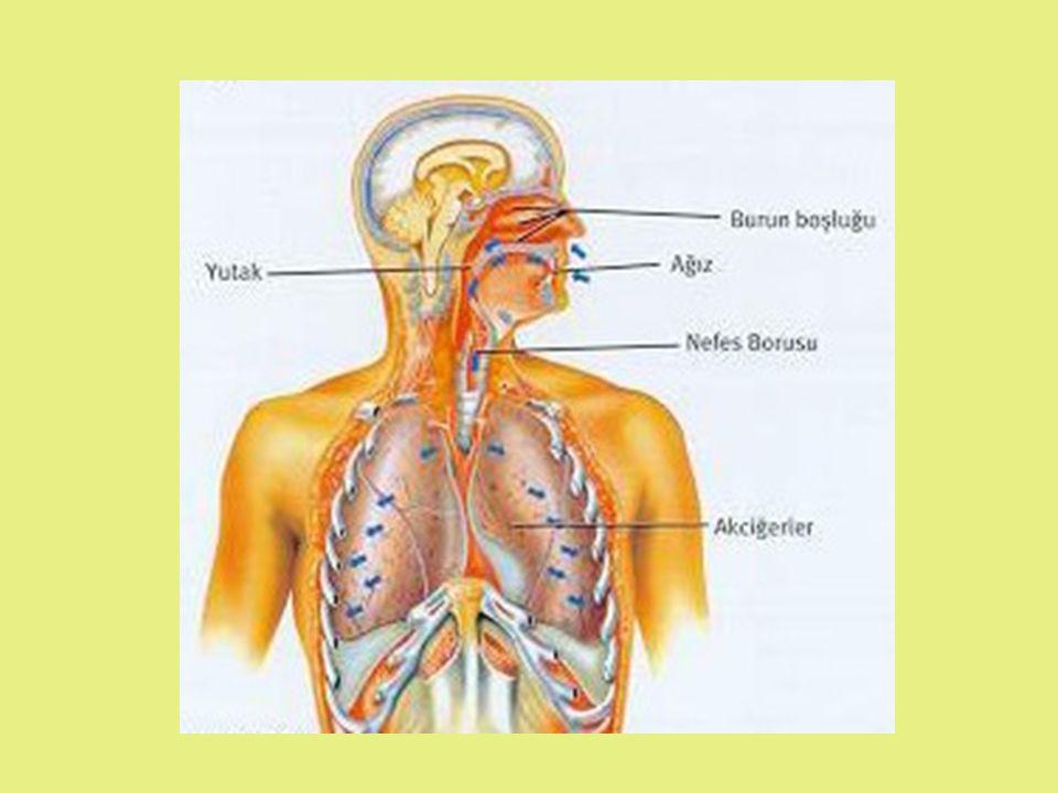 Akciğerler Plevra adı verilen sağlam bir zarla çevrilir.Akciğerleri darbe, basınç gibi dış etkenlerden korur.Akciğerler sağ ve sol olmak üzere iki parçadır.Ayrıca her bir parça lob denilen bölümlere ayrılmıştır.Sağ akciğer üç, sol akciğer iki lobdan oluşur.Bronşlar akciğerlere girdikten sonra daha ince dallara ayrılır.Bu ince dallara bronşçuk denir.Bronşçuklar üzüm salkımı şeklinde hava keseleri ile sonlanır.Bu hava keselerine alveol denir.Alveoller akciğer yüzeyinin daha geniş olmasını sağlar.Bu özellik solunumu kolaylaştırır.