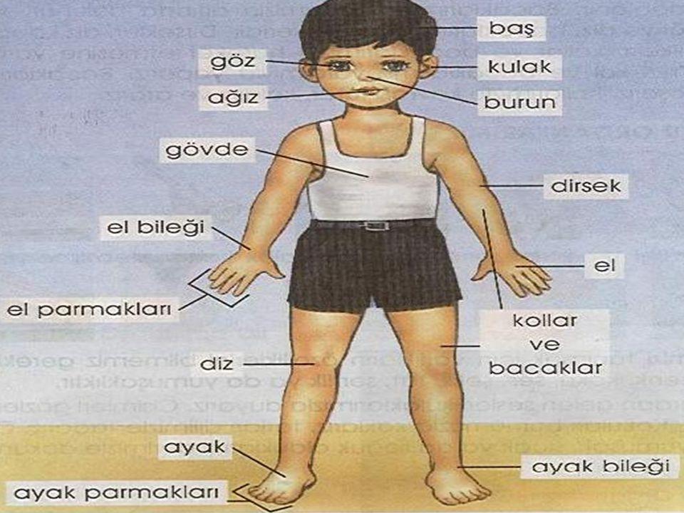 KALP Göğüs boşluğunun sol kısmında bulunur. Hiç durmadan çalışır.