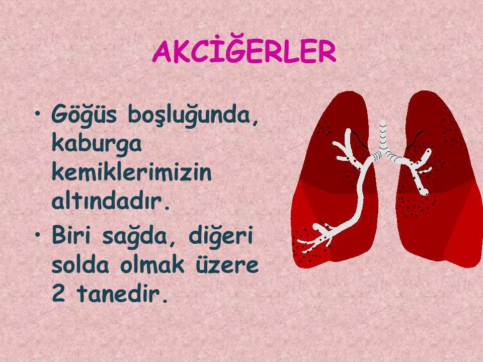 İÇ ORGANLARIMIZ Gövdemizin içindeki organlara iç organlar denir.