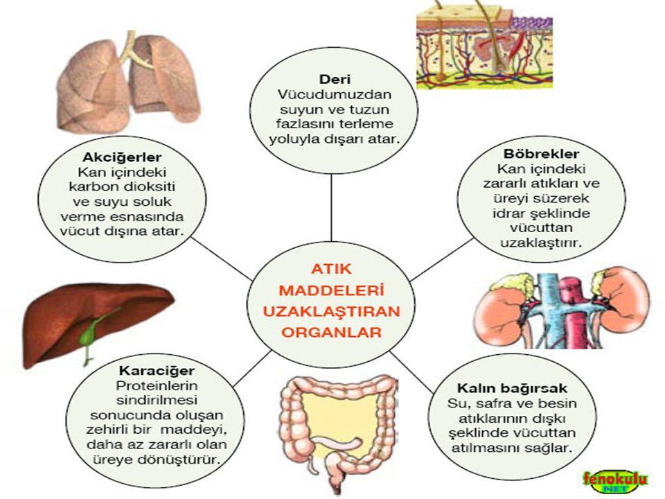 Ayrıca; Karaciğerle kanımızdaki şeker miktarı düzenlenir.
