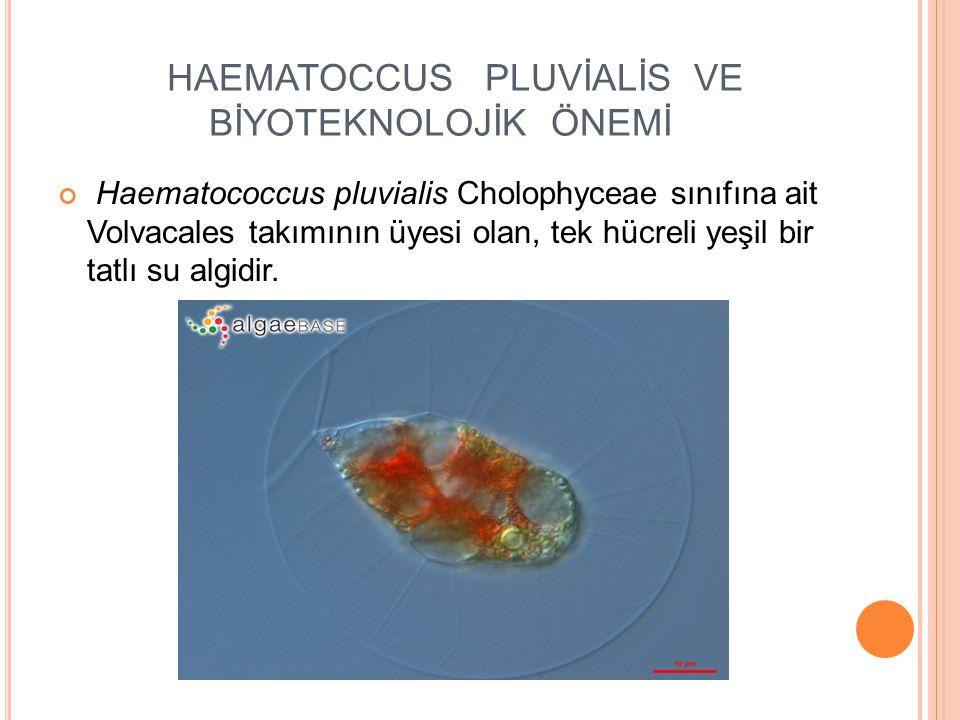 HAEMATOCCUS PLUVİALİS VE BİYOTEKNOLOJİK ÖNEMİ Haematococcus pluvialis Cholophyceae sınıfına ait Volvacales takımının üyesi olan, tek hücreli yeşil bir