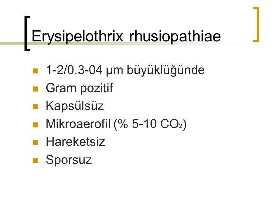 Erysipelothrix rhusiopathiae 1-2/0.3-04 µm büyüklüğünde Gram pozitif Kapsülsüz Mikroaerofil (% 5-10 CO 2 ) Hareketsiz Sporsuz