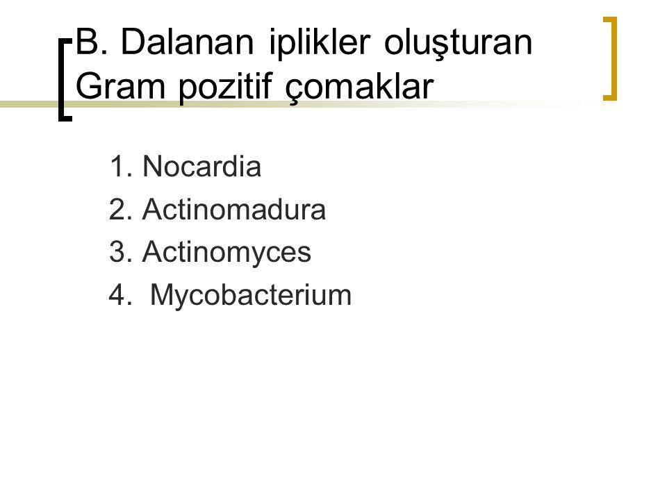 B. Dalanan iplikler oluşturan Gram pozitif çomaklar 1. Nocardia 2. Actinomadura 3. Actinomyces 4. Mycobacterium