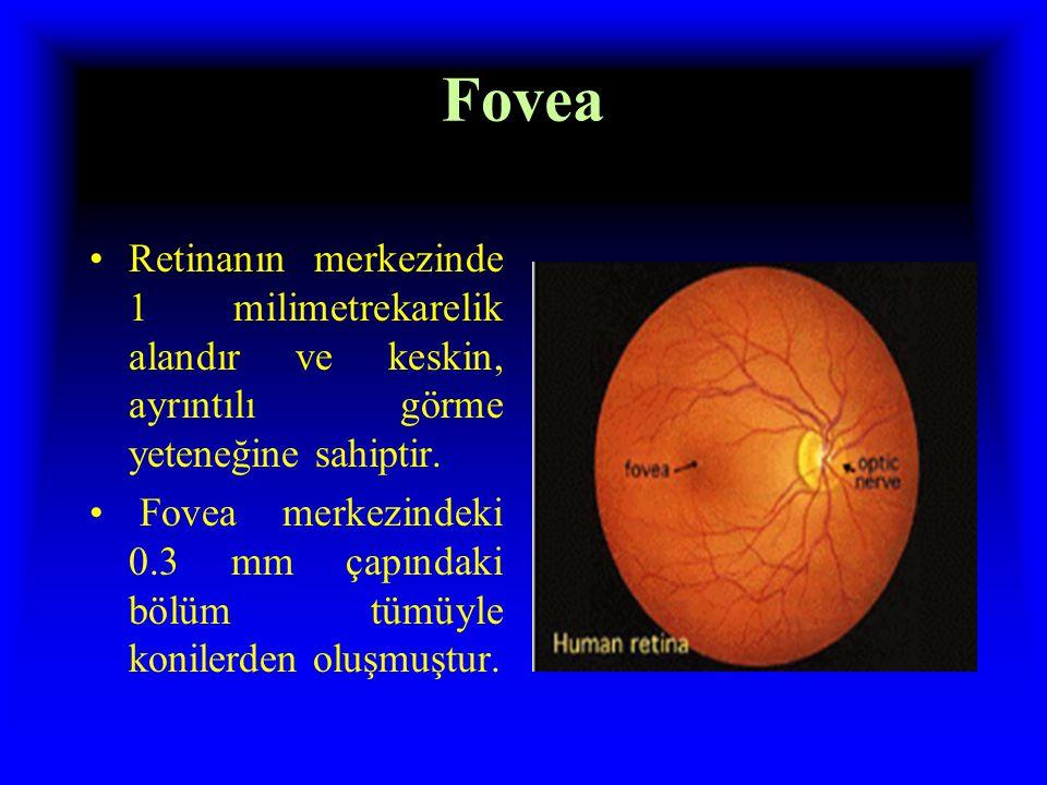 Fovea Retinanın merkezinde 1 milimetrekarelik alandır ve keskin, ayrıntılı görme yeteneğine sahiptir.