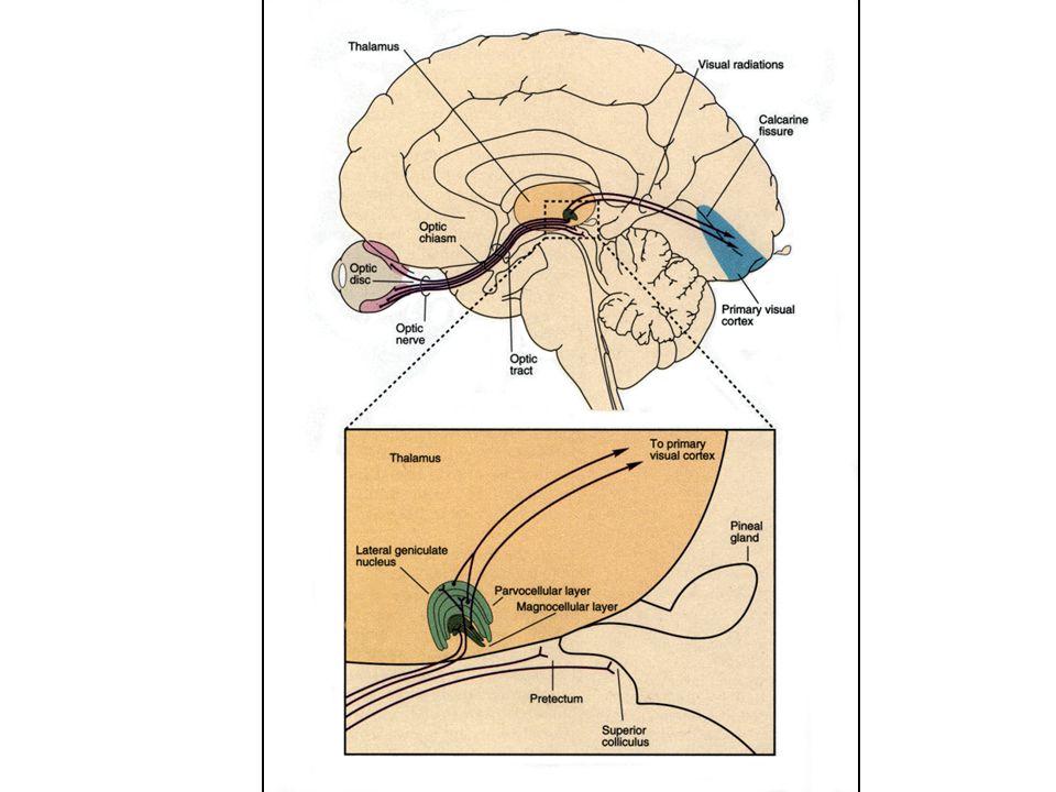 Primer Görme Korteksi (Brodmann'ın 17. Kortikal Alanı = Striat Korteks = V1) Kalkarin fissür alanında Her bir oksipital korteksin medial bölümünde oks
