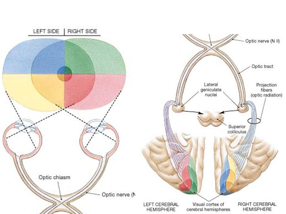 Sekonder Görme Alanları (V2 = Brodmann'ın 18. Alanı, V3, V4) Primer görme korteksinin lateral, anterior, superior ve inferiorunda uzanırlar. Sekonder