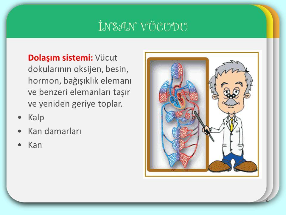 İ NSAN VÜCUDU Dolaşım sistemi: Vücut dokularının oksijen, besin, hormon, bağışıklık elemanı ve benzeri elemanları taşır ve yeniden geriye toplar.