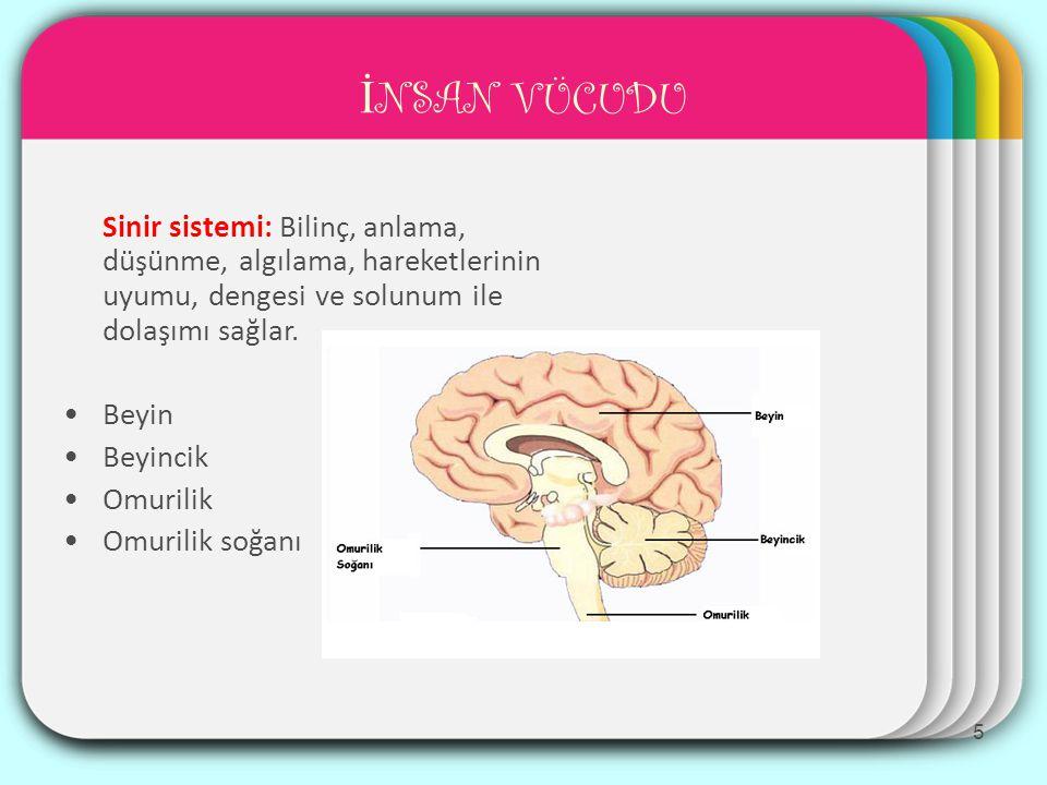 WINTER Template İ NSAN VÜCUDU Sinir sistemi: Bilinç, anlama, düşünme, algılama, hareketlerinin uyumu, dengesi ve solunum ile dolaşımı sağlar.