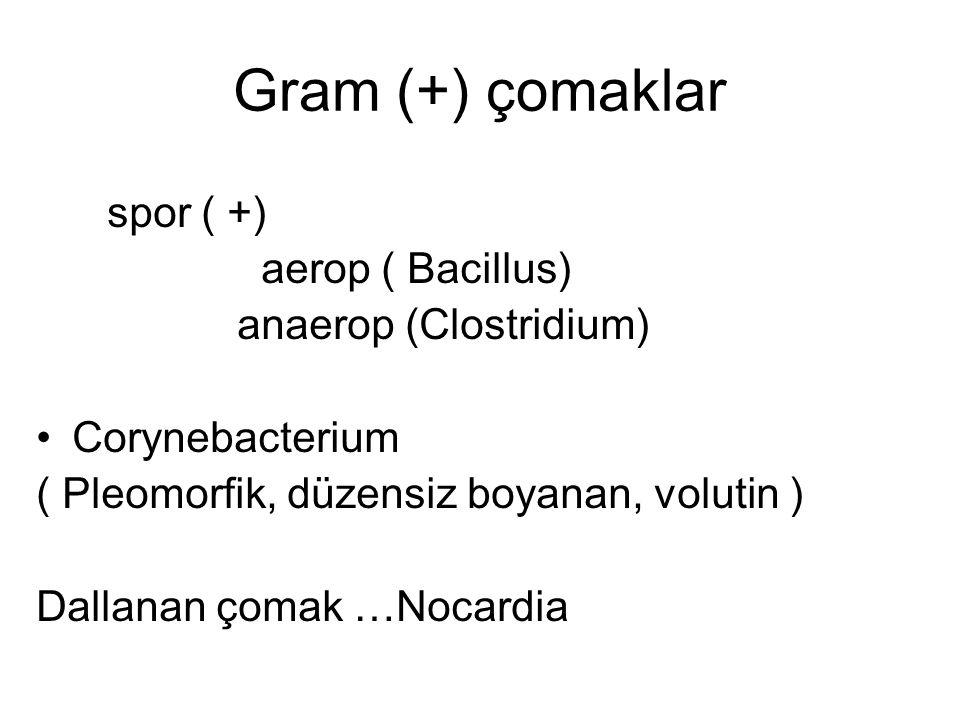 spor ( +) aerop ( Bacillus) anaerop (Clostridium) Corynebacterium ( Pleomorfik, düzensiz boyanan, volutin ) Dallanan çomak …Nocardia Gram (+) çomaklar