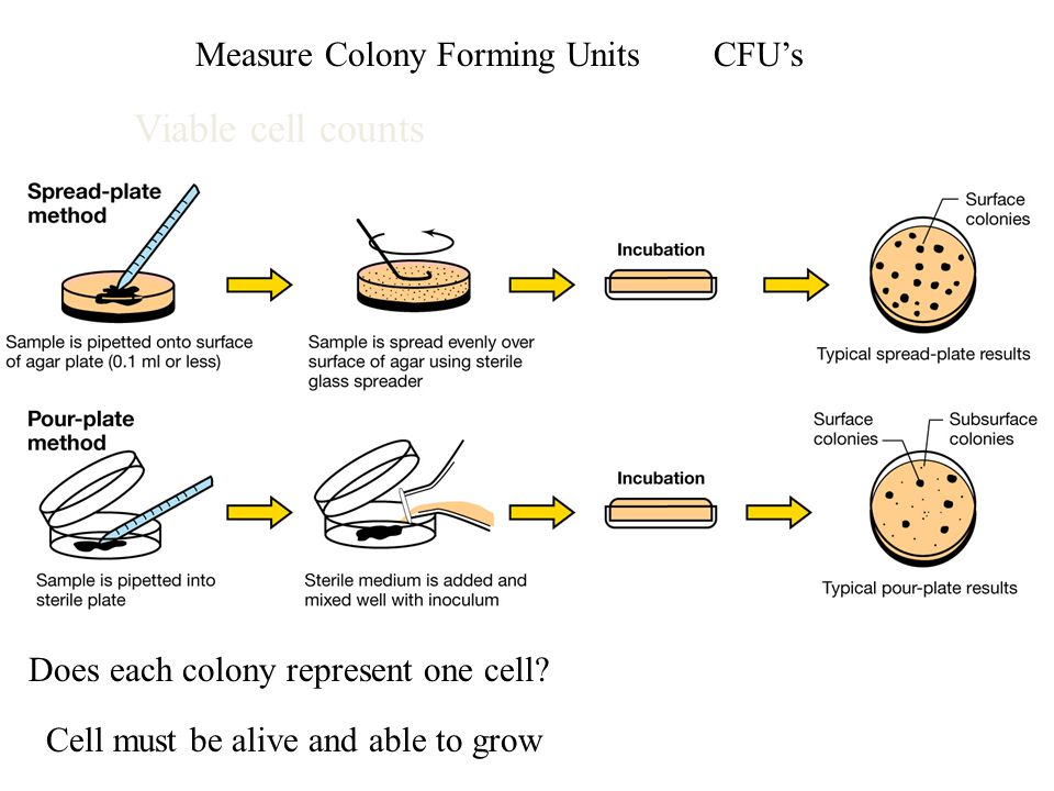 Measure Colony Forming UnitsCFU's Does each colony represent one cell? Cell must be alive and able to grow Viable cell counts