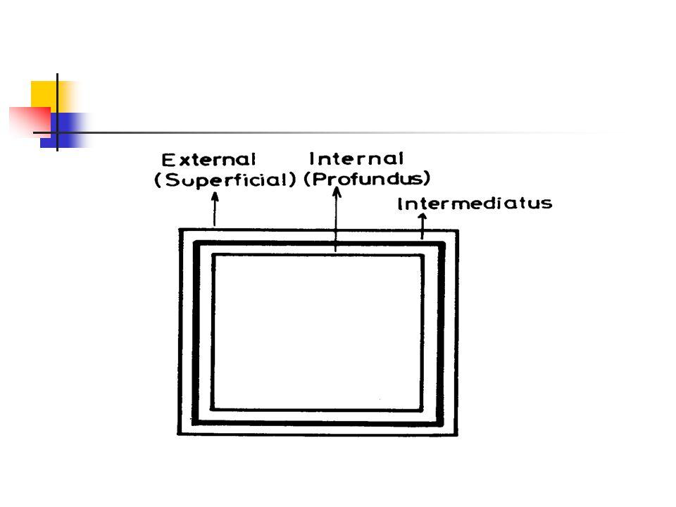 Ekstremite nin gövdeye yakın kısmı için proksimal, Daha uzak kısmı için distal terimi kullanılır.