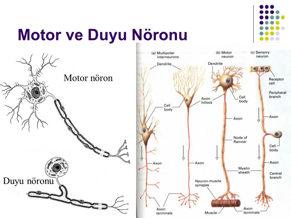 Motor ve Duyu Nöronu Duyu nöronu Motor nöron