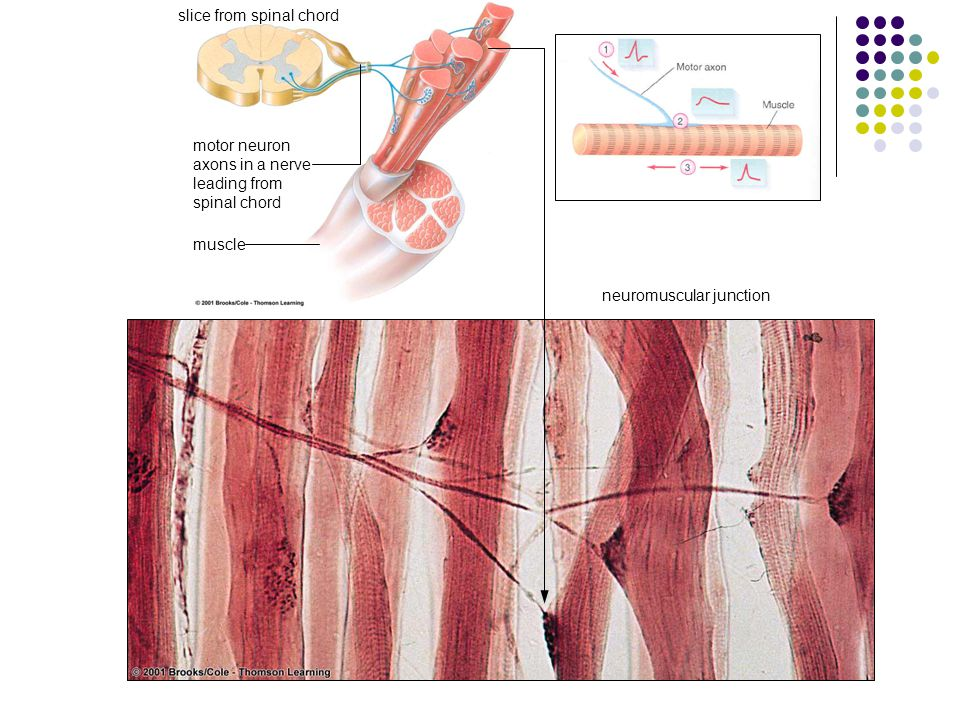 slice from spinal chord motor neuron axons in a nerve leading from spinal chord neuromuscular junction muscle