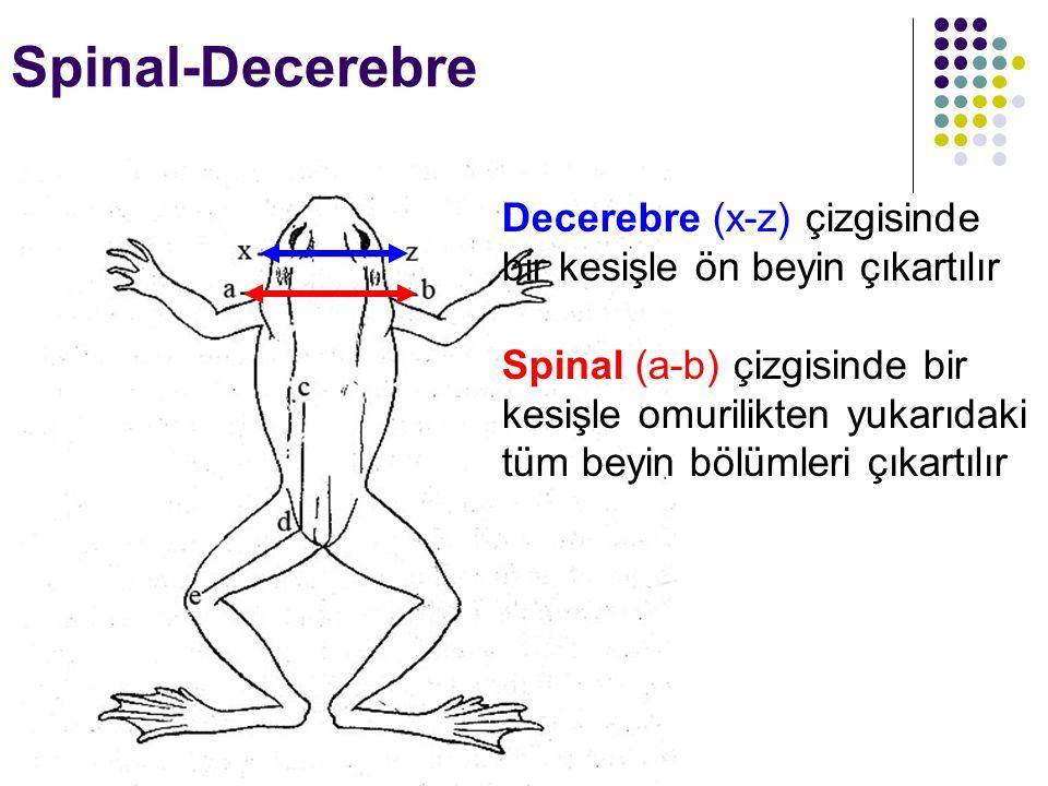 Spinal-Decerebre Decerebre (x-z) çizgisinde bir kesişle ön beyin çıkartılır Spinal (a-b) çizgisinde bir kesişle omurilikten yukarıdaki tüm beyin bölüm