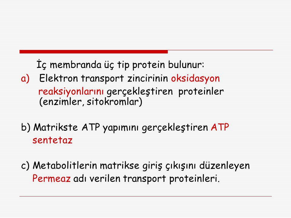 İç membranda üç tip protein bulunur: a)Elektron transport zincirinin oksidasyon reaksiyonlarını gerçekleştiren proteinler (enzimler, sitokromlar) b) M