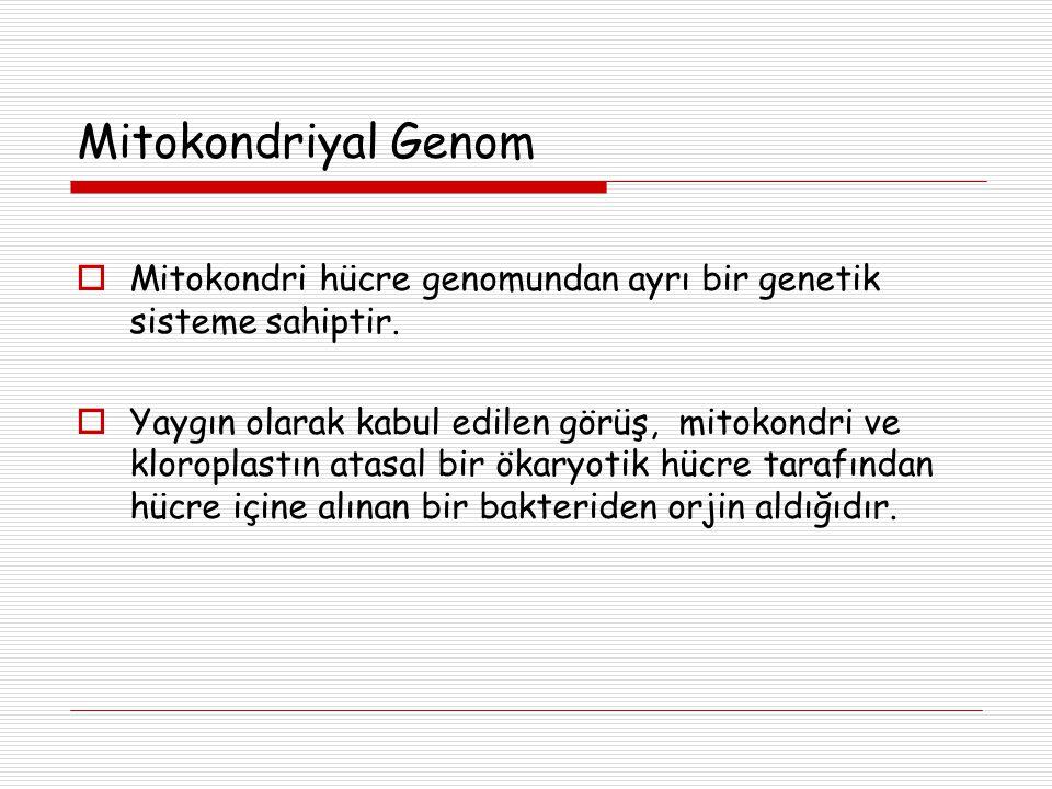 Mitokondriyal Genom  Mitokondri hücre genomundan ayrı bir genetik sisteme sahiptir.  Yaygın olarak kabul edilen görüş, mitokondri ve kloroplastın at