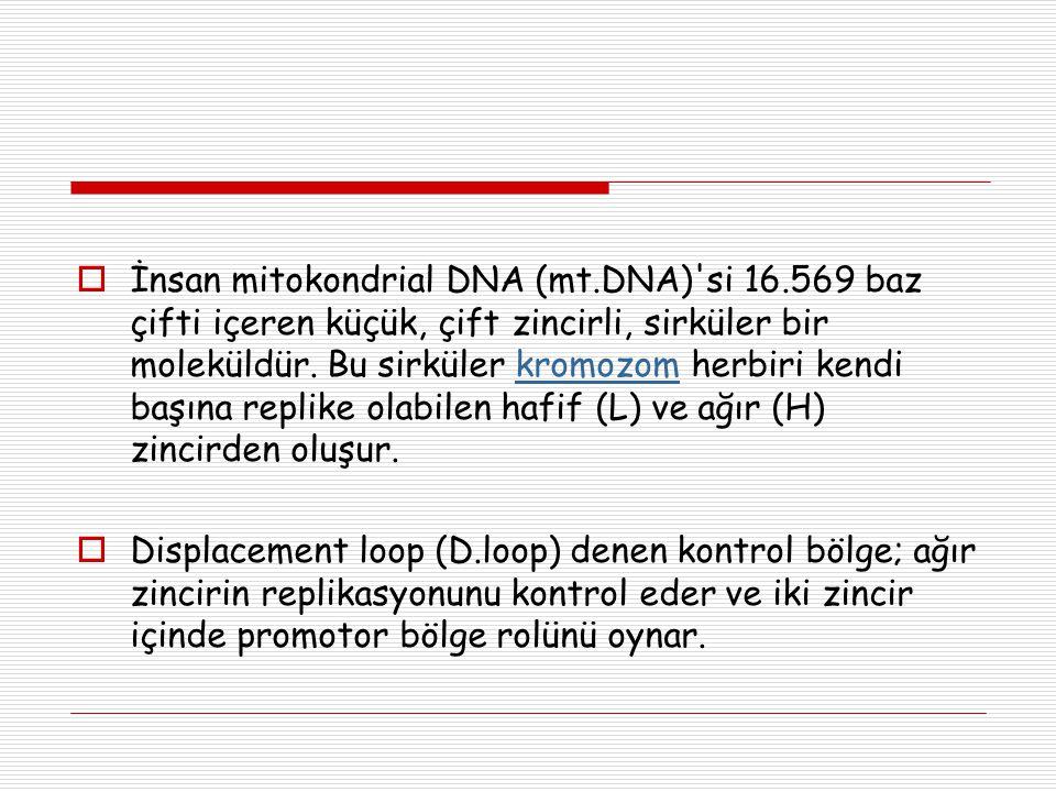  İnsan mitokondrial DNA (mt.DNA)'si 16.569 baz çifti içeren küçük, çift zincirli, sirküler bir moleküldür. Bu sirküler kromozom herbiri kendi başına
