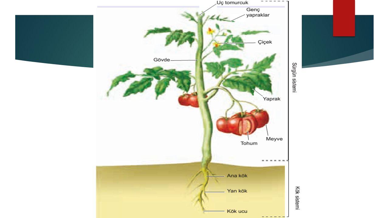  Epidermis: Tek sıralı hücrelerden oluşan, bitkinin tüm yüzeyini kaplayan en dış tabakadır.