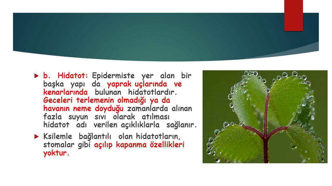  b. Hidatot: Epidermiste yer alan bir başka yapı da yaprak uçlarında ve kenarlarında bulunan hidatotlardır. Geceleri terlemenin olmadığı ya da havanı