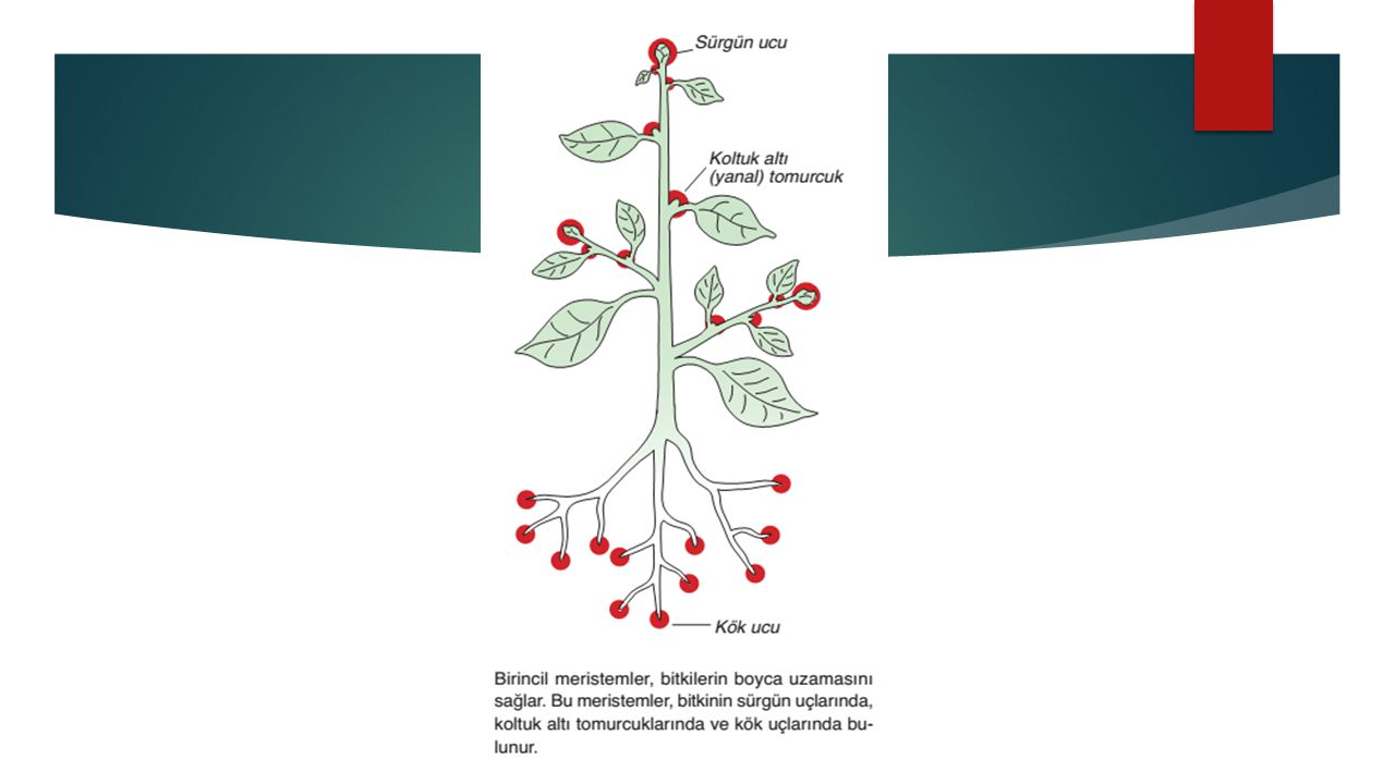  Floem:Floem, yapraklarda fotosentezle üretilen ve köklerden alınan organik maddelerin bitkinin diğer kısımlarına iletilmesinden sorumlu dokudur.