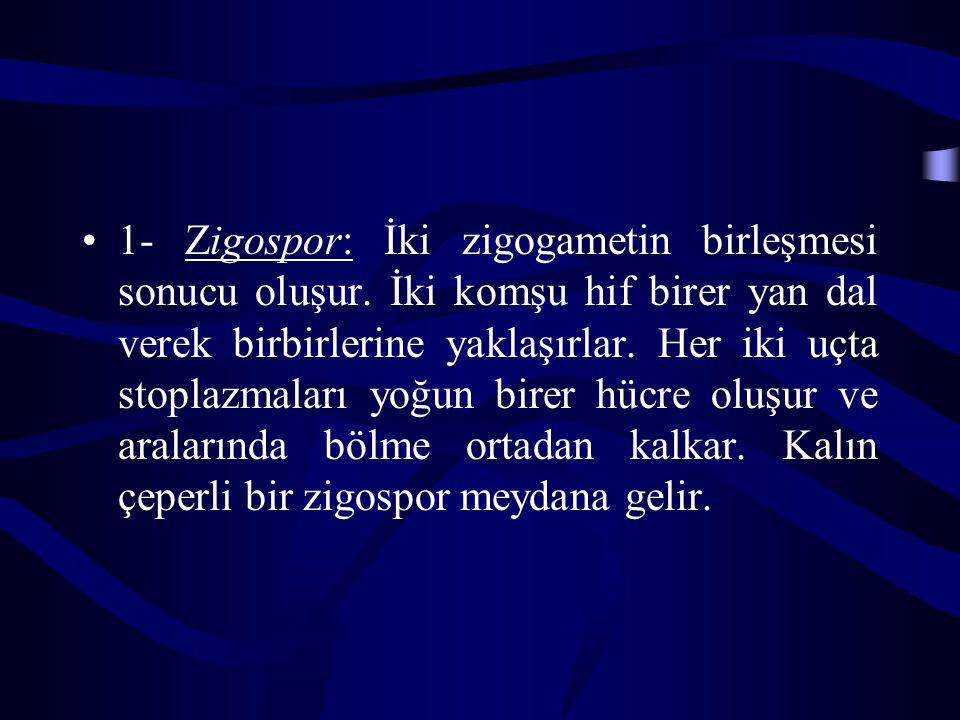 1- Zigospor: İki zigogametin birleşmesi sonucu oluşur.