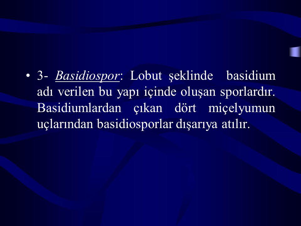 3- Basidiospor: Lobut şeklinde basidium adı verilen bu yapı içinde oluşan sporlardır. Basidiumlardan çıkan dört miçelyumun uçlarından basidiosporlar d
