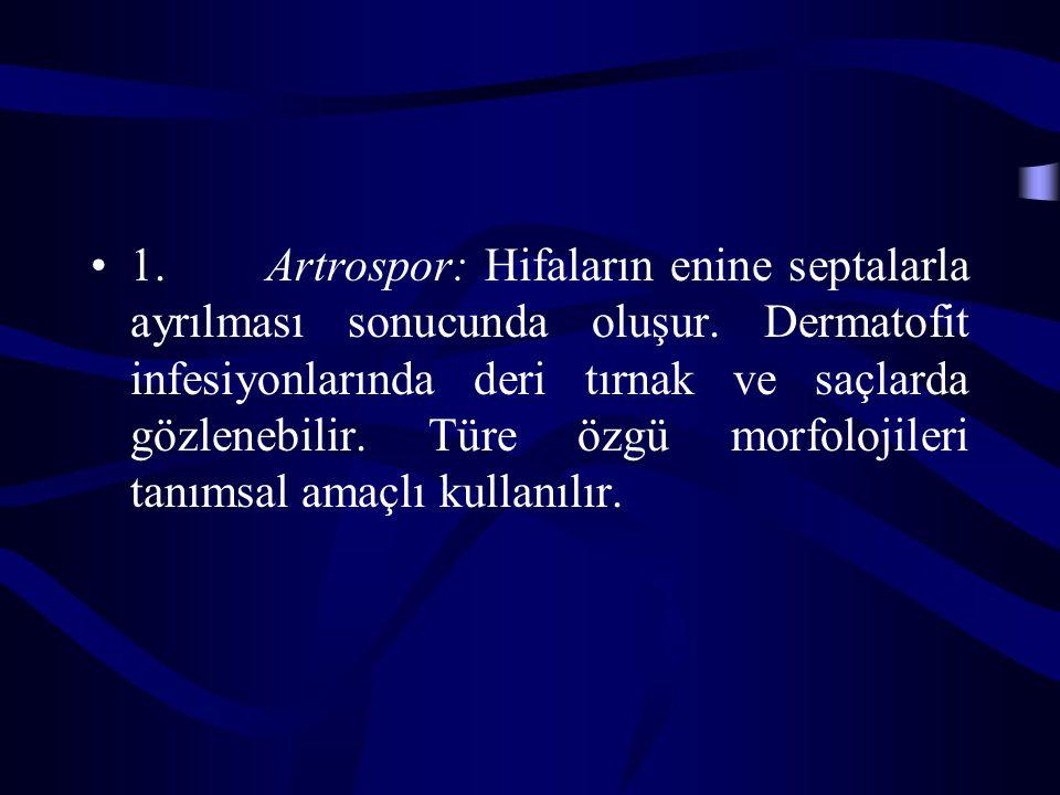 1.Artrospor: Hifaların enine septalarla ayrılması sonucunda oluşur.