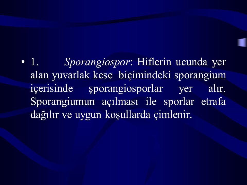 1. Sporangiospor: Hiflerin ucunda yer alan yuvarlak kese biçimindeki sporangium içerisinde şporangiosporlar yer alır. Sporangiumun açılması ile sporla