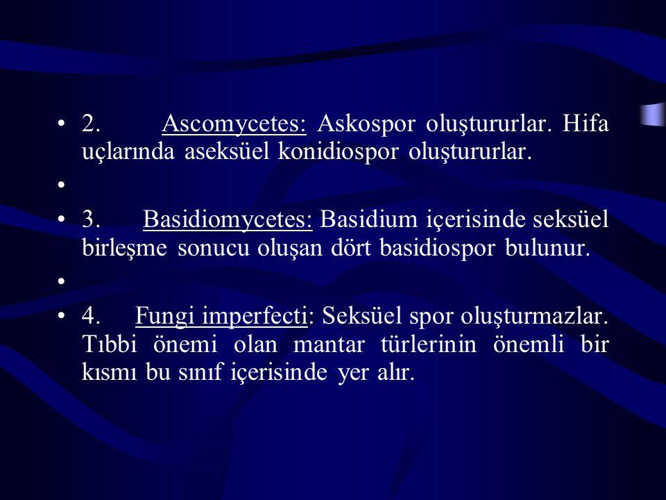 2. Ascomycetes: Askospor oluştururlar. Hifa uçlarında aseksüel konidiospor oluştururlar. 3. Basidiomycetes: Basidium içerisinde seksüel birleşme sonuc