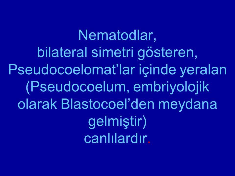 Nematodlar, bilateral simetri gösteren, Pseudocoelomat'lar içinde yeralan (Pseudocoelum, embriyolojik olarak Blastocoel'den meydana gelmiştir) canlıla