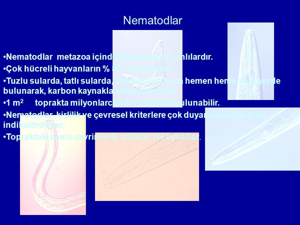 Nematodlar Nematodlar metazoa içindeki basit yapılı canlılardır. Çok hücreli hayvanların % 80 i nematottur. Tuzlu sularda, tatlı sularda, bitkisel ala