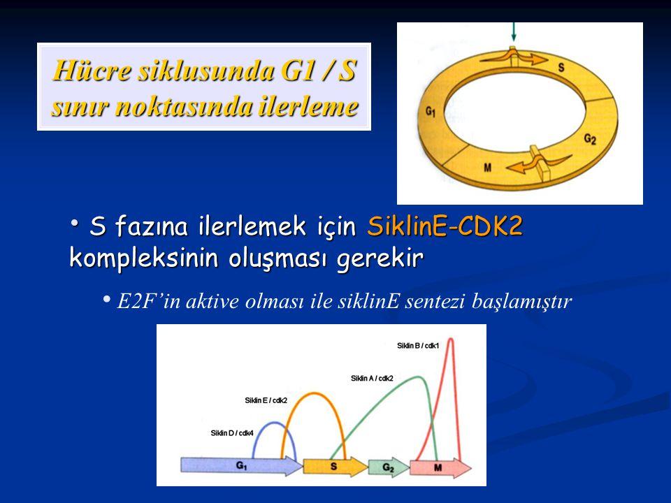 Hücre siklusunda G1 / S sınır noktasında ilerleme S fazına ilerlemek için SiklinE-CDK2 kompleksinin oluşması gerekir S fazına ilerlemek için SiklinE-C