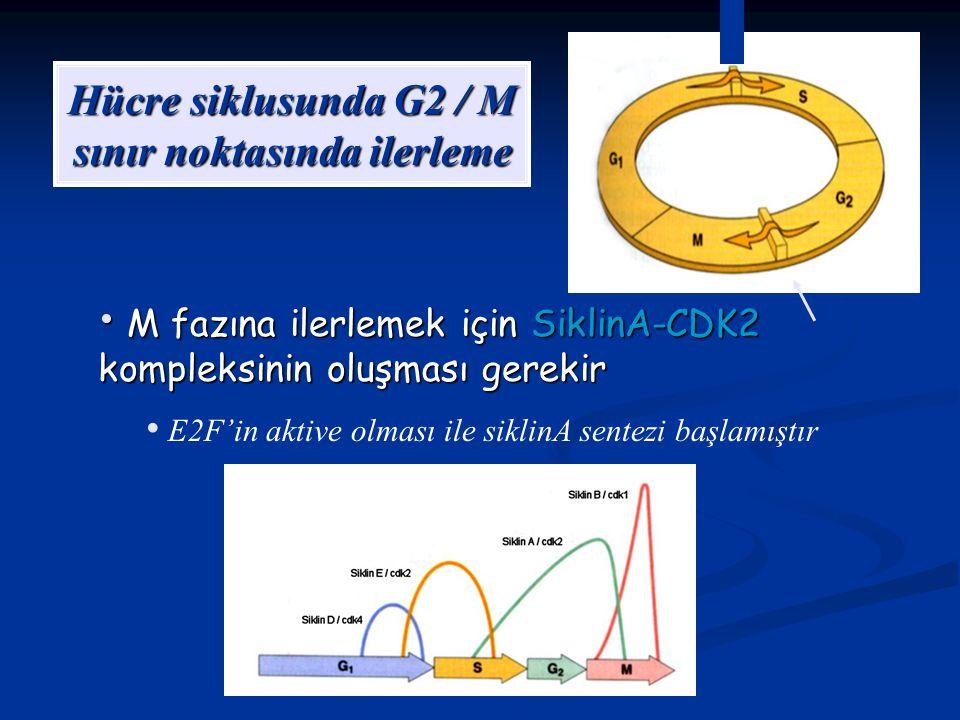 Hücre siklusunda G2 / M sınır noktasında ilerleme M fazına ilerlemek için SiklinA-CDK2 kompleksinin oluşması gerekir M fazına ilerlemek için SiklinA-C
