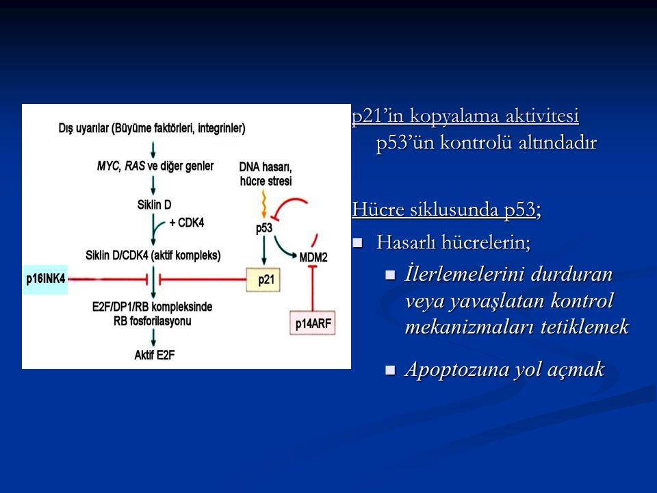 p21'in kopyalama aktivitesi p53'ün kontrolü altındadır Hücre siklusunda p53 ; Hasarlı hücrelerin; Hasarlı hücrelerin; İlerlemelerini durduran veya yav