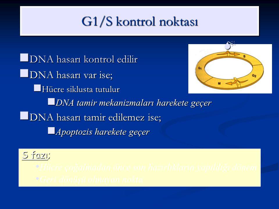 G1/S kontrol noktası DNA hasarı kontrol edilir DNA hasarı kontrol edilir DNA hasarı var ise; DNA hasarı var ise; Hücre siklusta tutulur Hücre siklusta